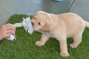 puppy playing with pull toy